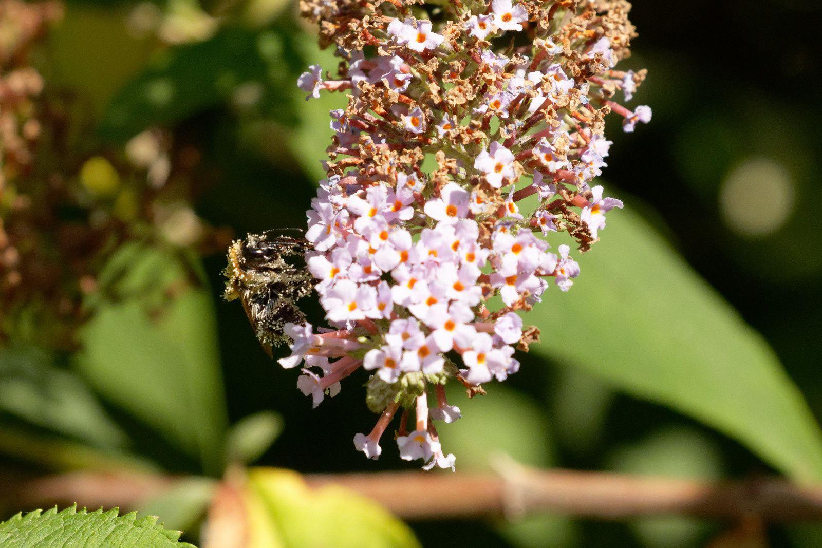 Abeille ou Bourdon avec du nectar aux extrémités de ses poils