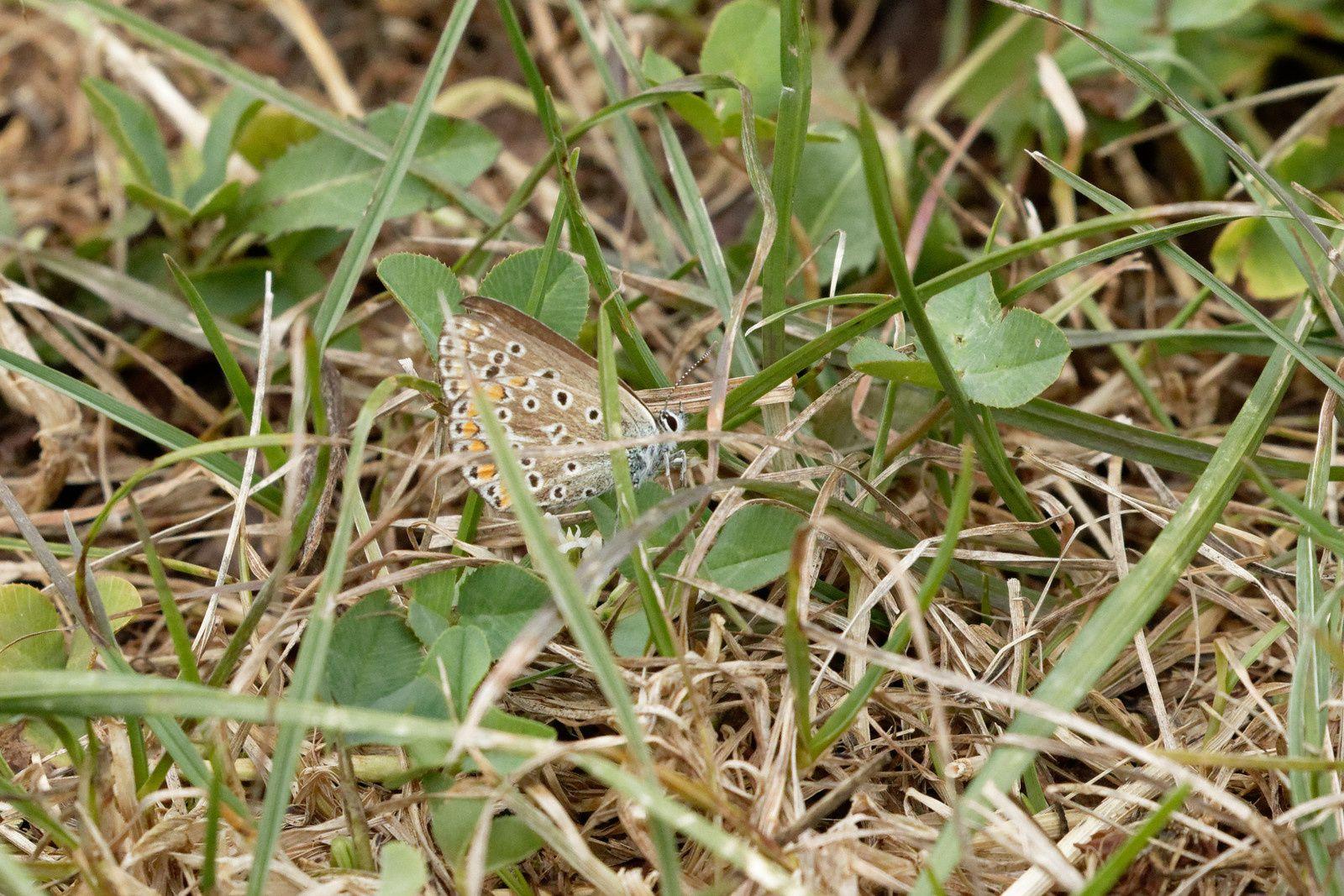 Azuré commun (Polyommatus icarus)