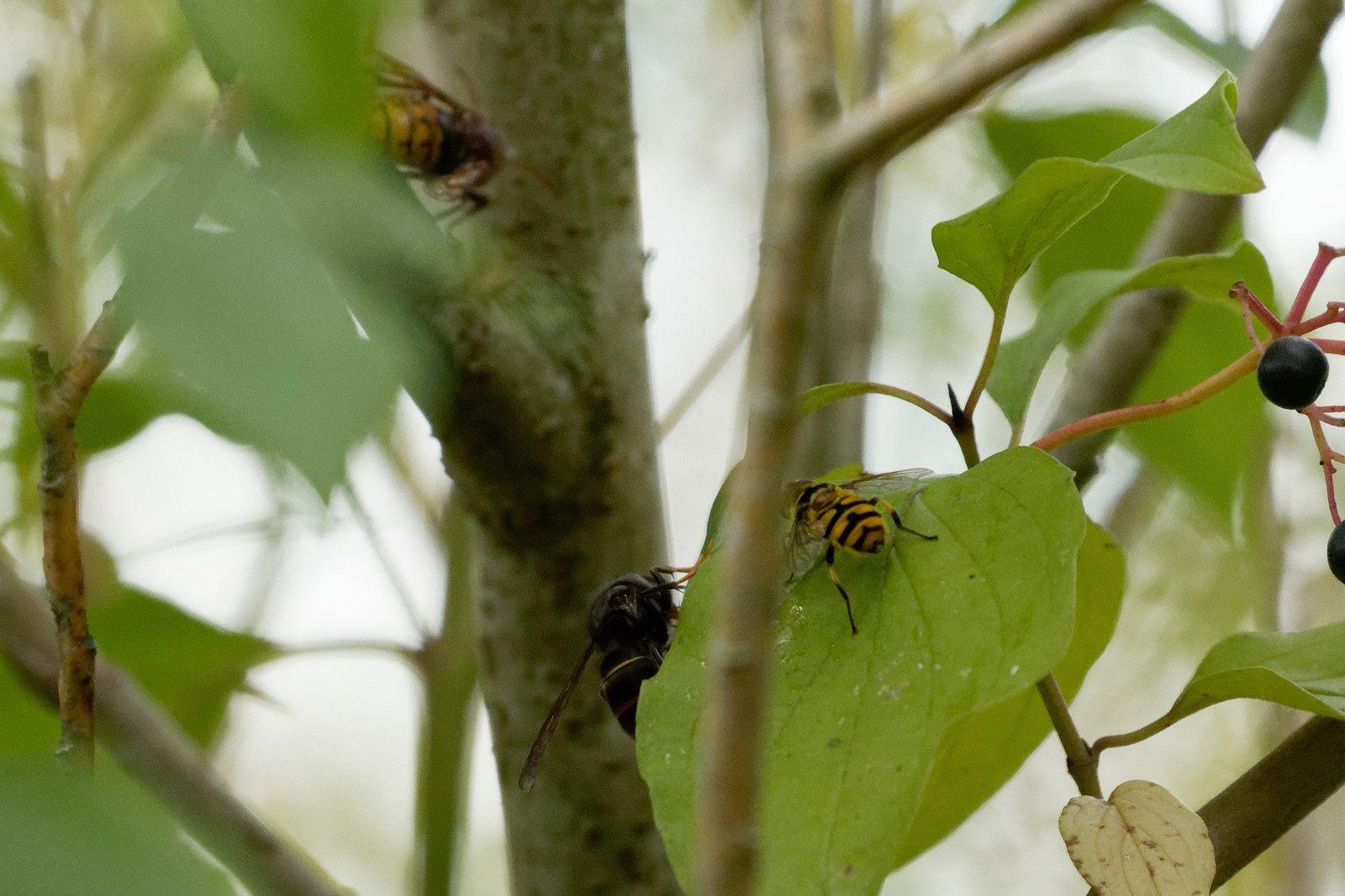 Frelons asiatiques cotoyant Frelon européen et Syrphidae