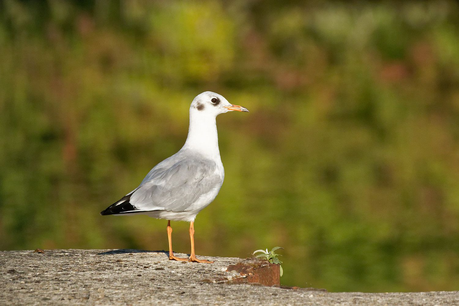 Mouette rieuse, adulte internuptial
