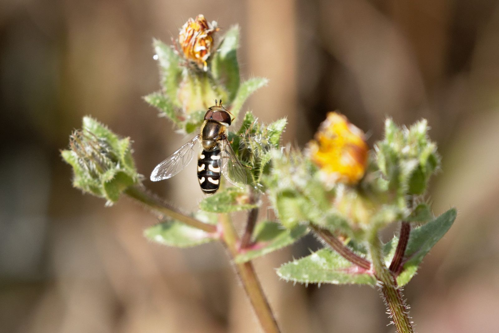 Syrphidae, une possible Scaeva pyrastri