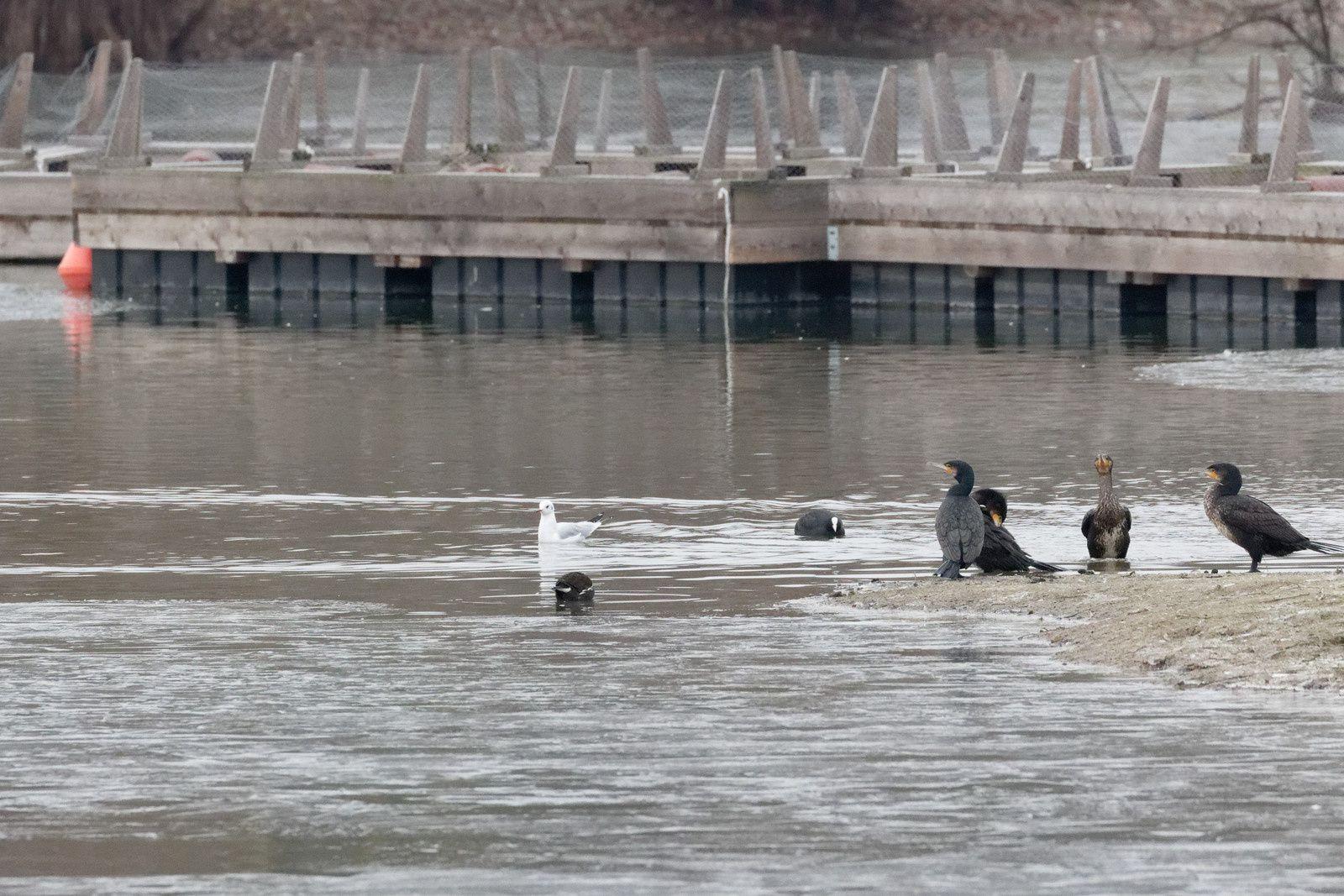 Mouette rieuse qui connait bien cette barge pour avoir nidifié et des Grands cormorans qui se débarassent de l'eau entre les plumes.