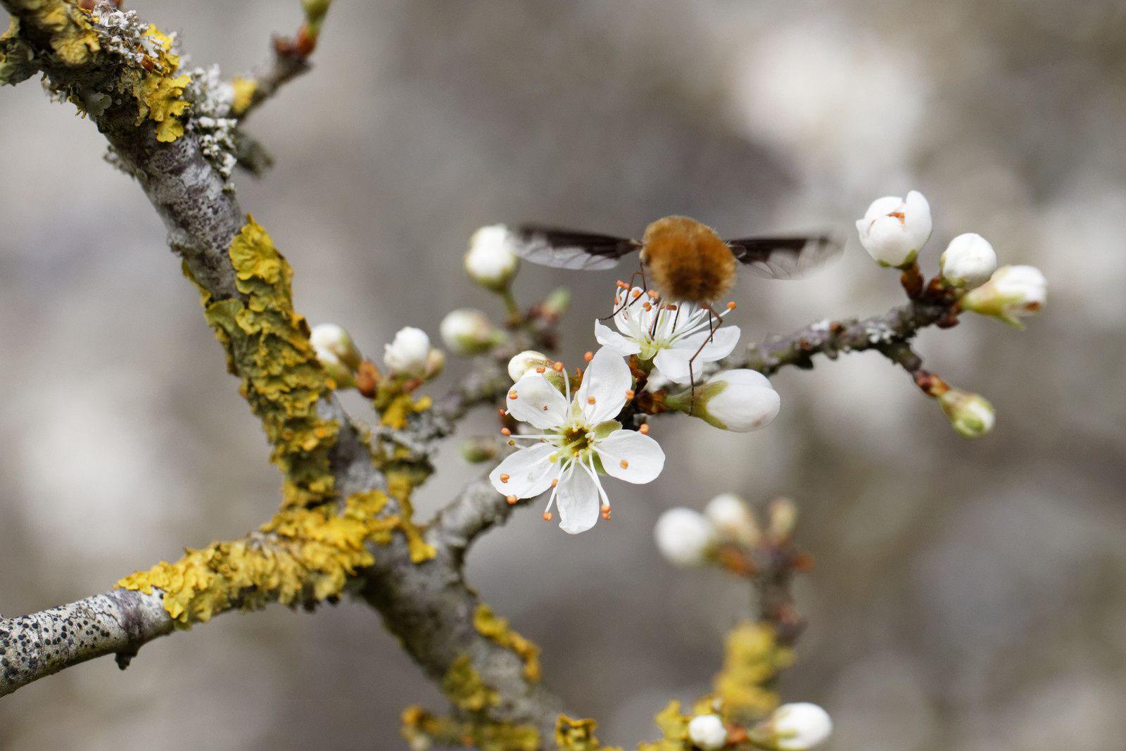 444 - La Pollinisation sur les Arbres (acte 2) : 23/03/2019