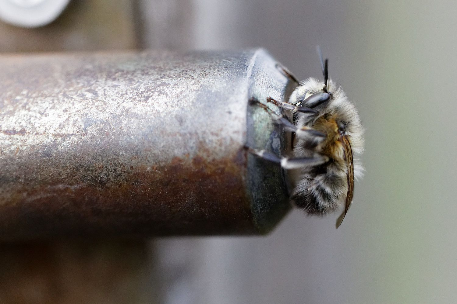 Anthophora sp