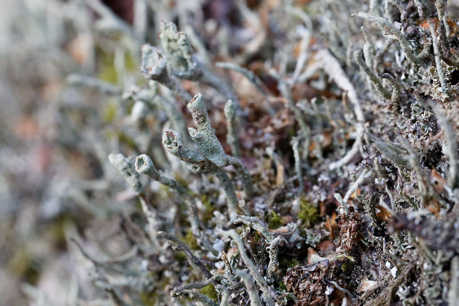 Cladonia coniocraea, possible