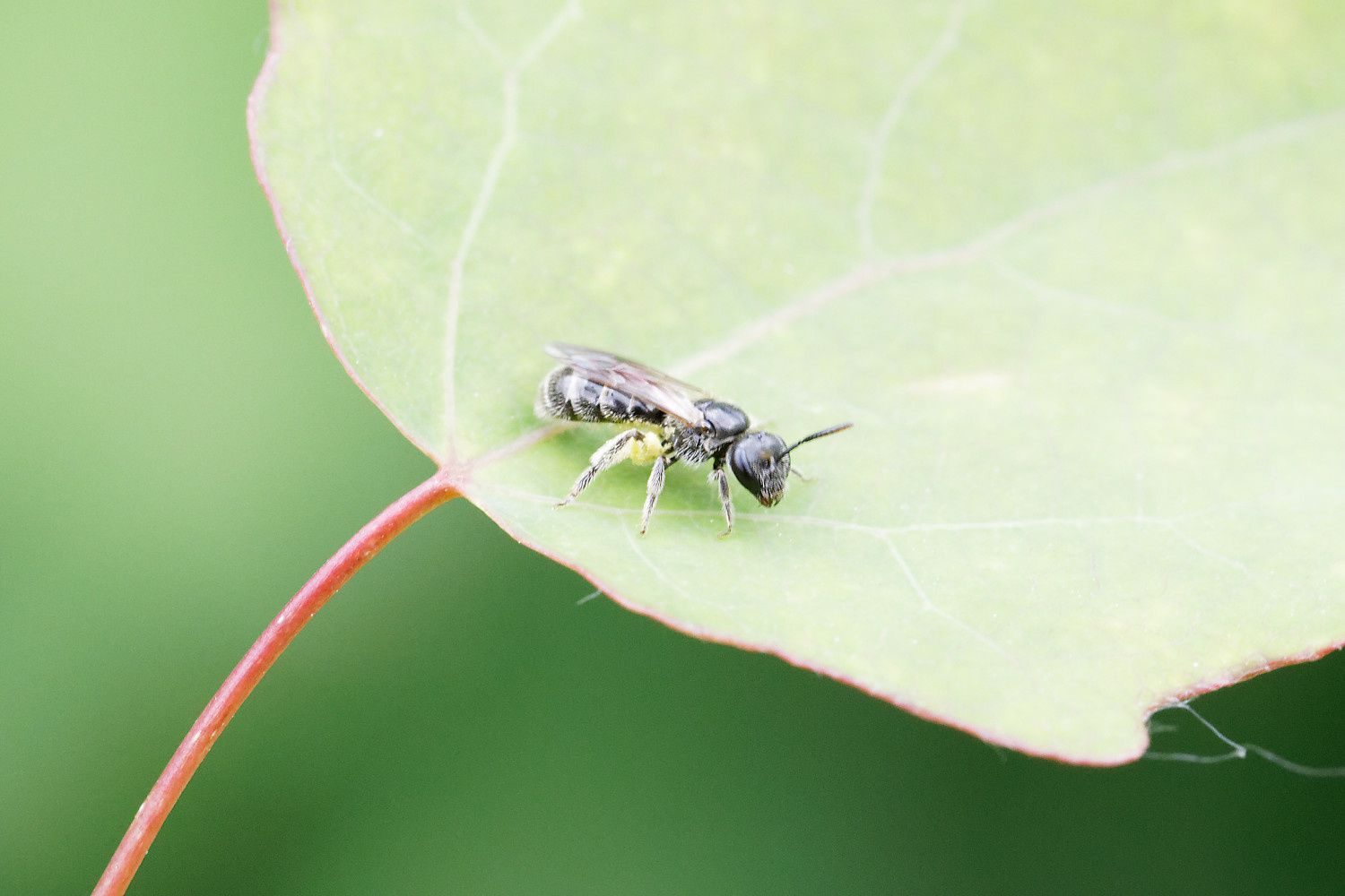 Halictide, Lasioglossum sp possible