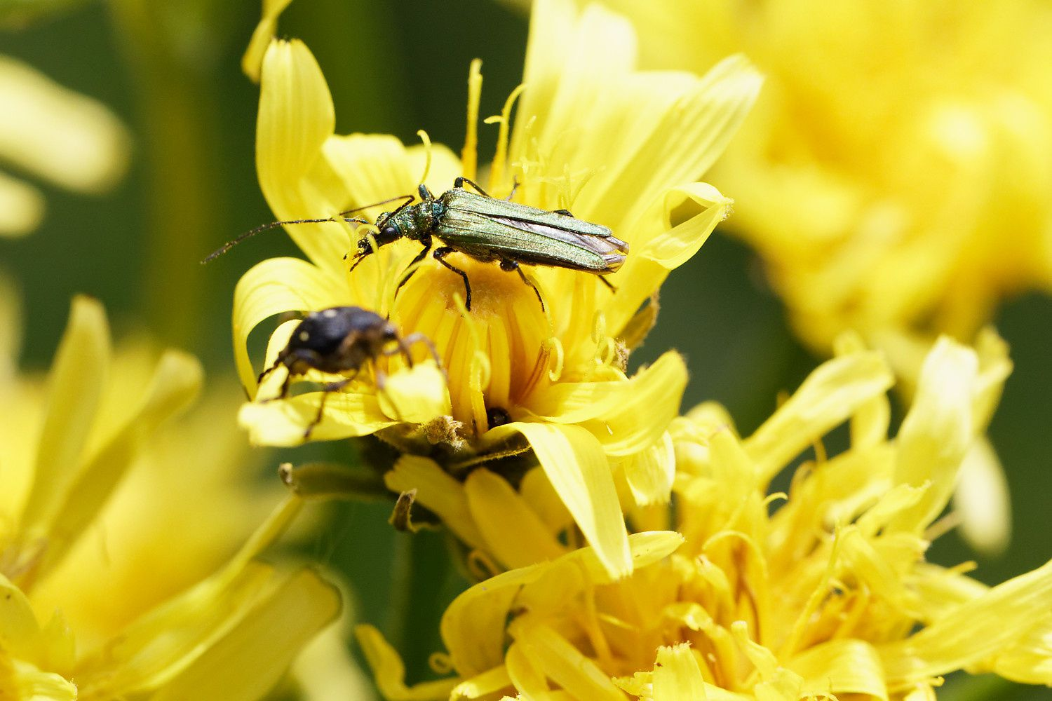 Oedemera tristis, possible. Plus gros que son voisin.