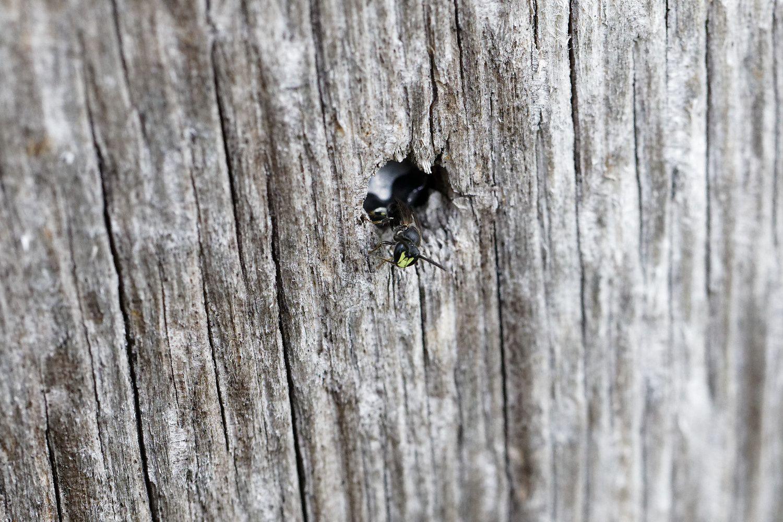 La seconde peut rentrer dans le petit trou. Pas mal cette couleur frontale ! Hylaeus sp ?