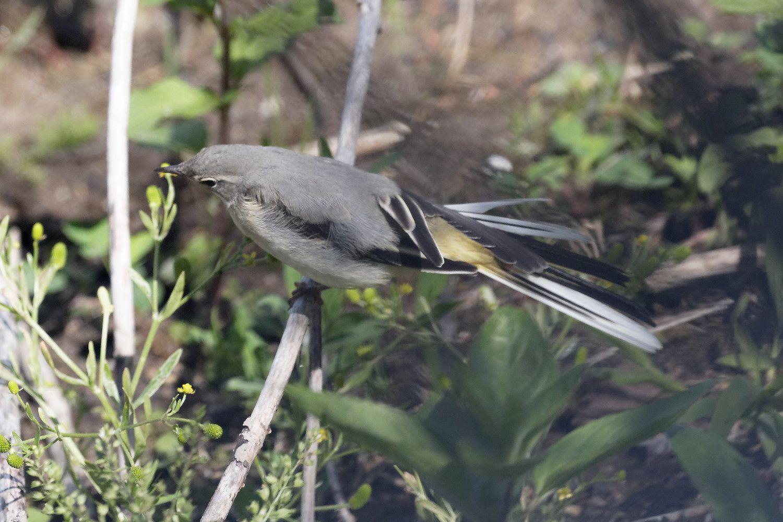 456 - Mais quelle nurserie ! Poussins, larves et mâles chanteurs ! : 08/06/2019
