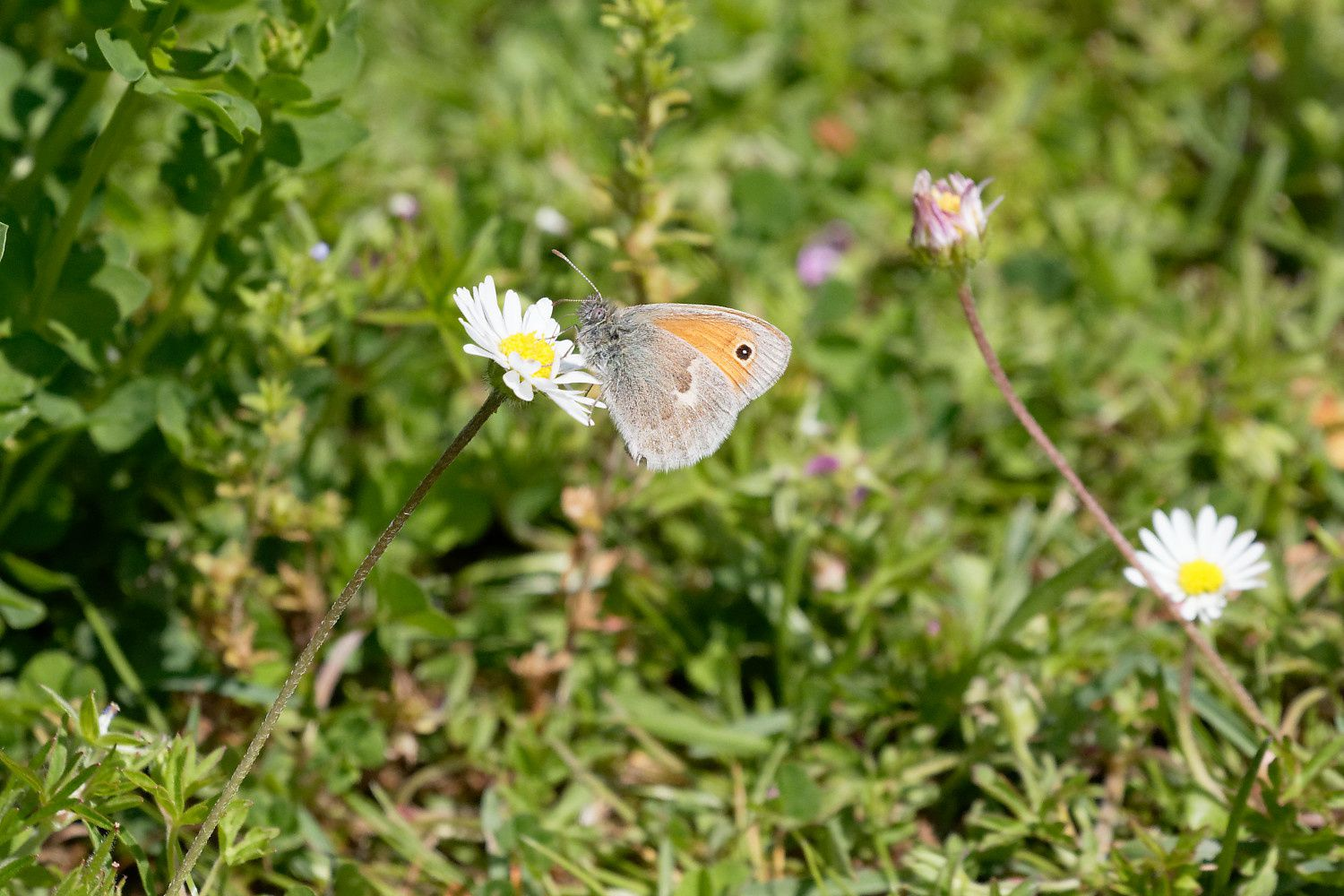 Fadet (Coenonympha pamphilus)