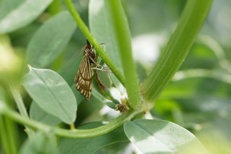Crambus mordoré (Chrysoteuchia linetella), plus sûr que le celui des jardins !