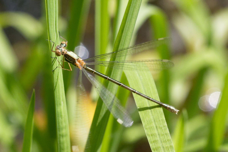 Demoiselle ! C'est un Leste vert (Chalcolestes viridis).