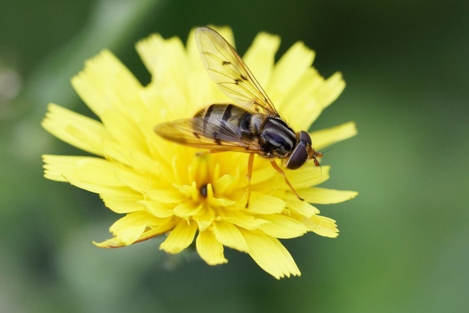 Syrphidae pour l'instant