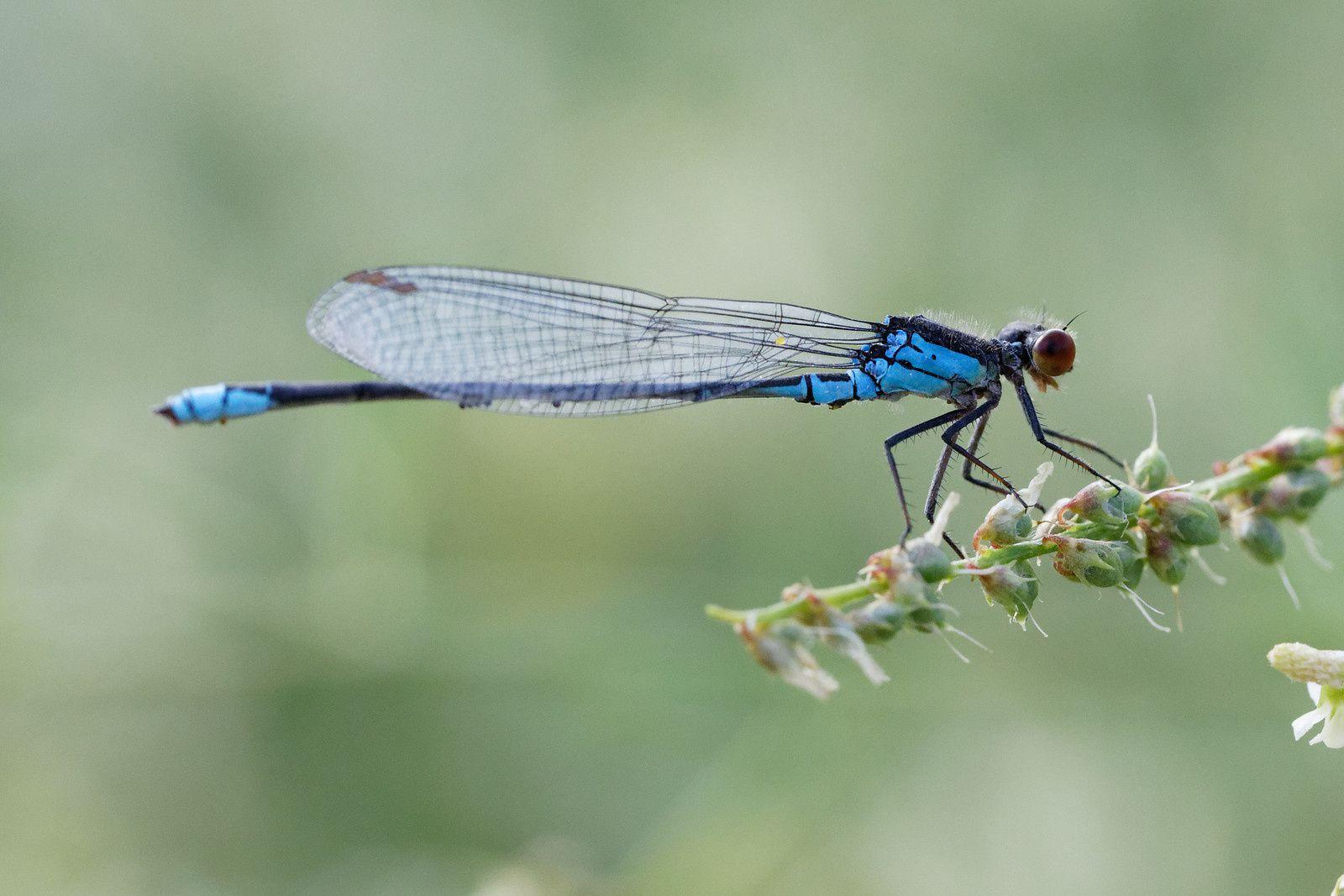 Naïade au corps vert (Erythromma viridulum). Son abdomen porte des oeufs ? Les siens ? Oups !