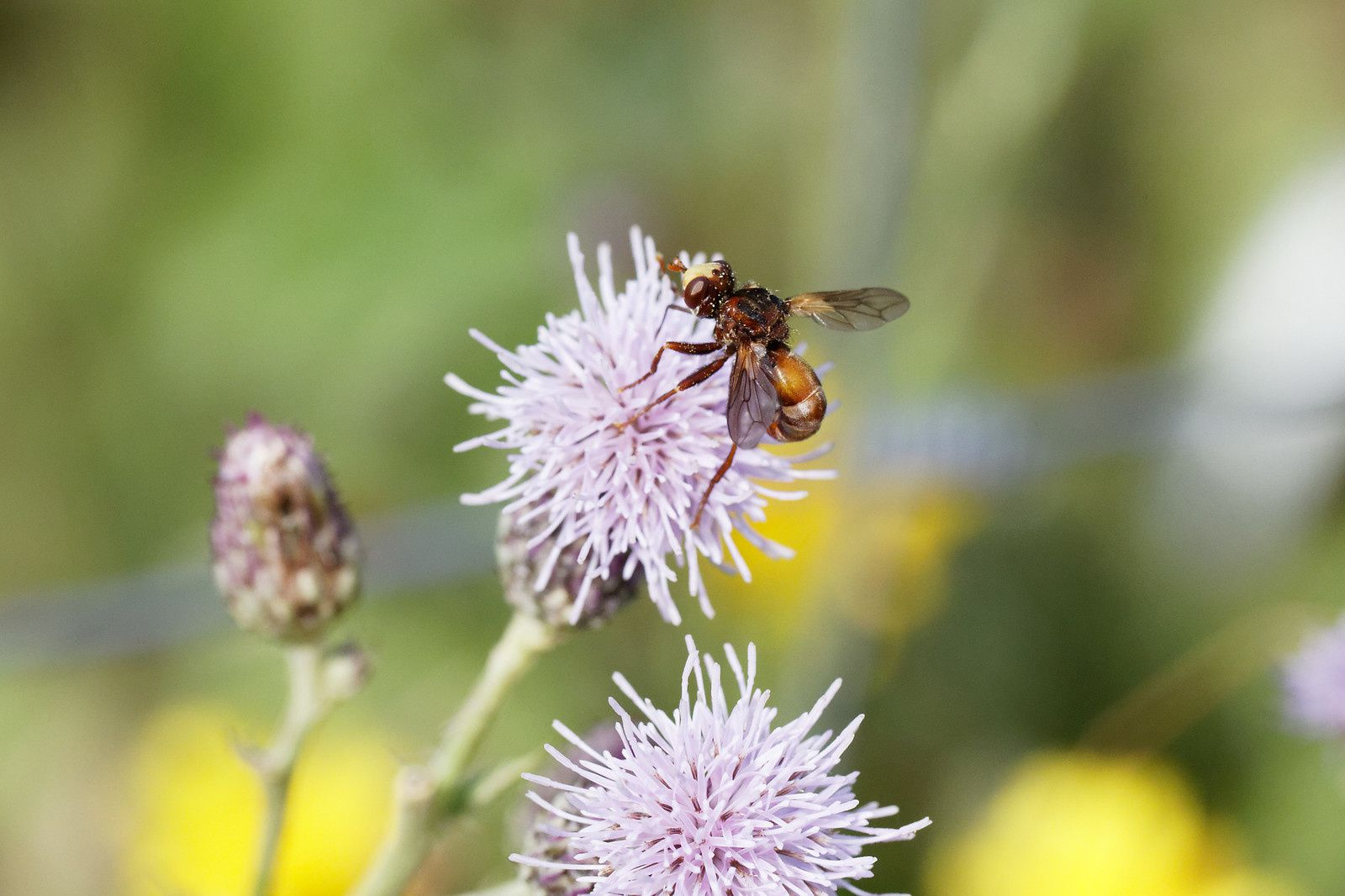 Sicus sp possible et certainement un Diptera.