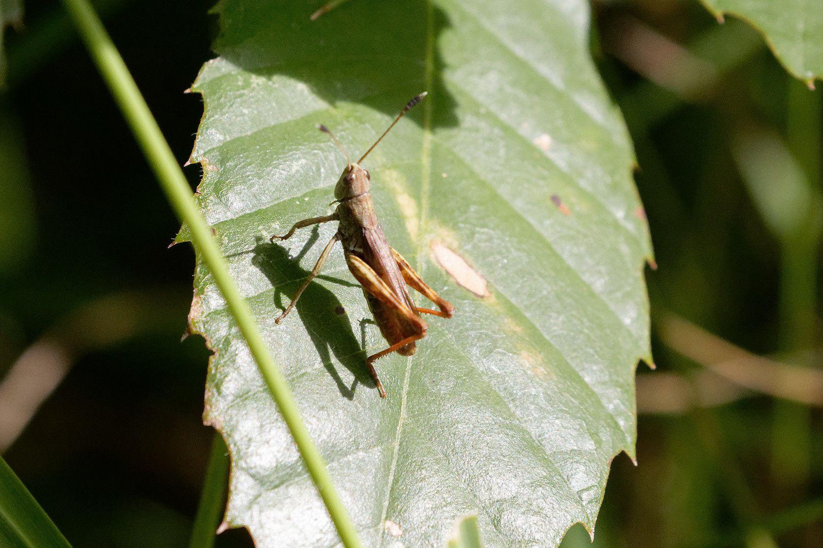 Criquet bien haut sur ses pattes avec massue au bout de ses antennes. Intéressant !