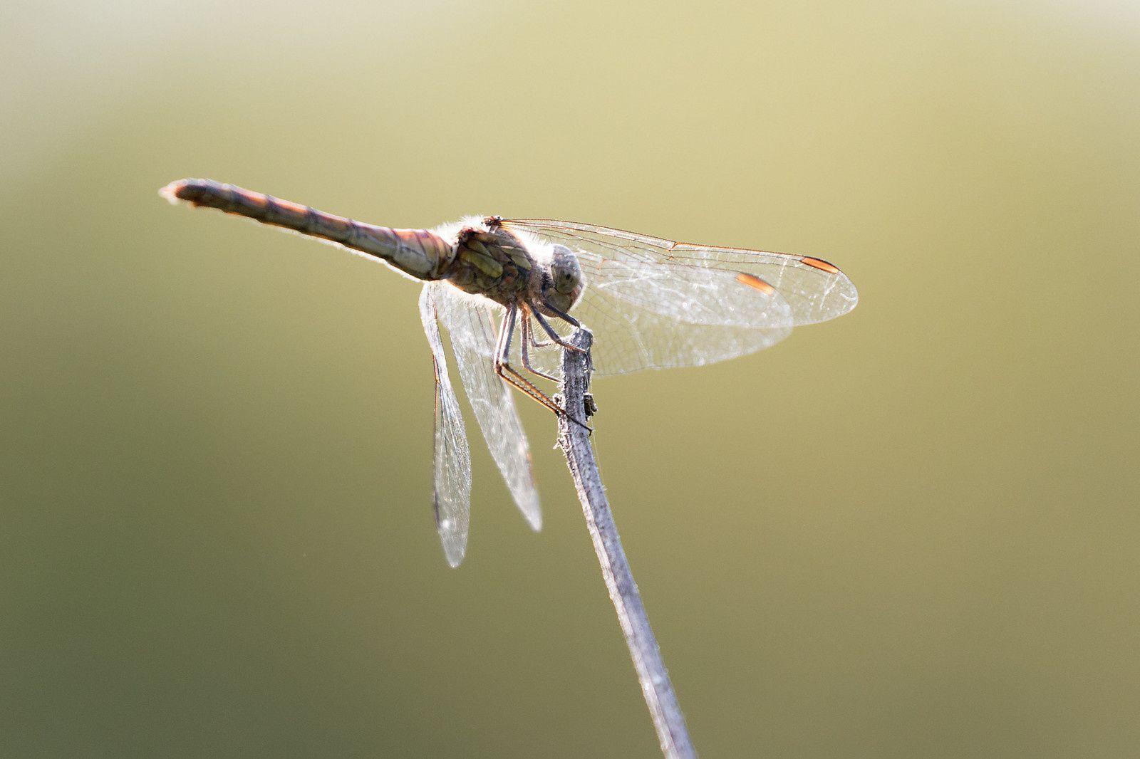 un possible Sympétrum sanguin, femelle.