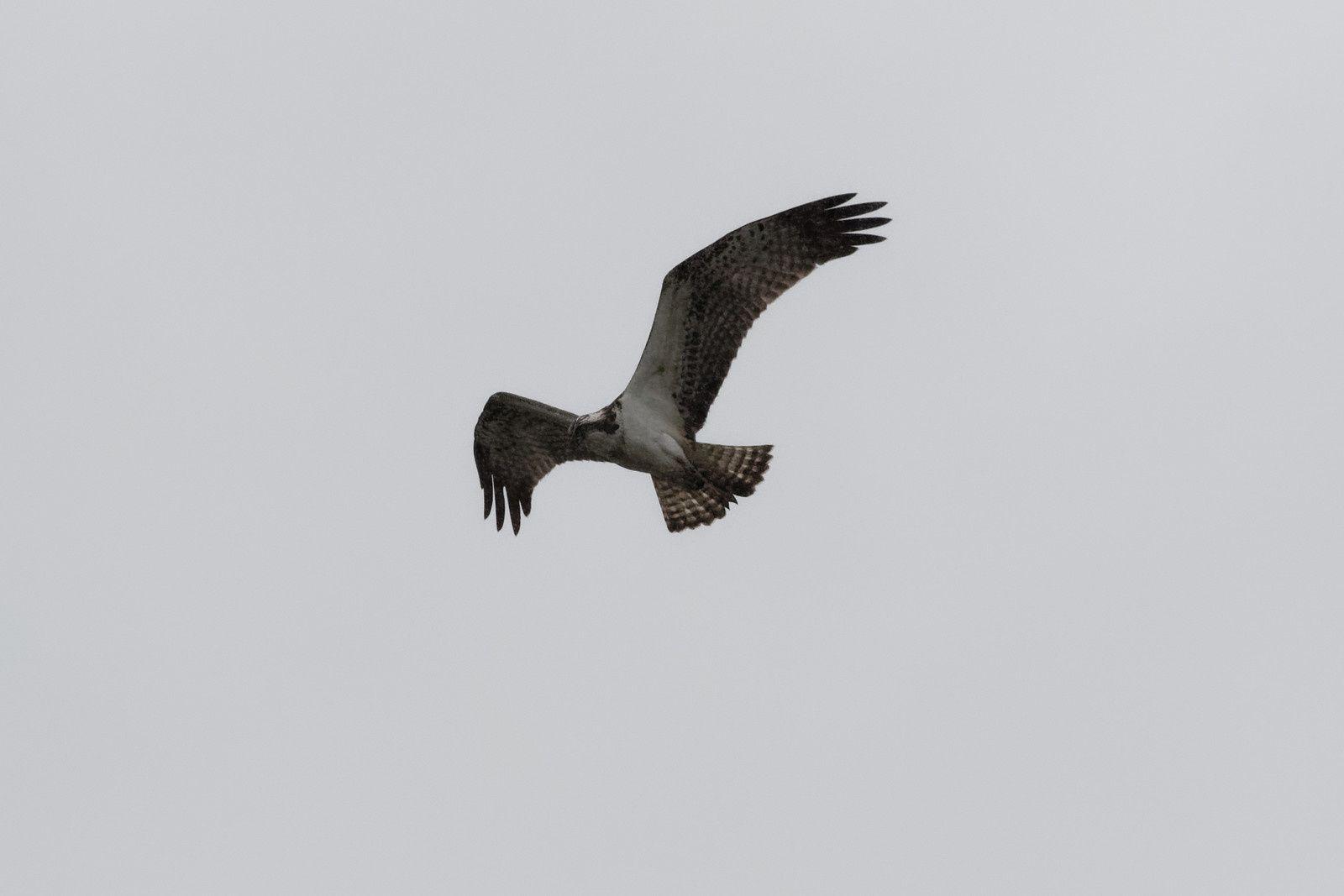 475 - Beau temps ou pluie, le Balbuzard répond présent tant qu'il y a du Poisson : 22/09/2019