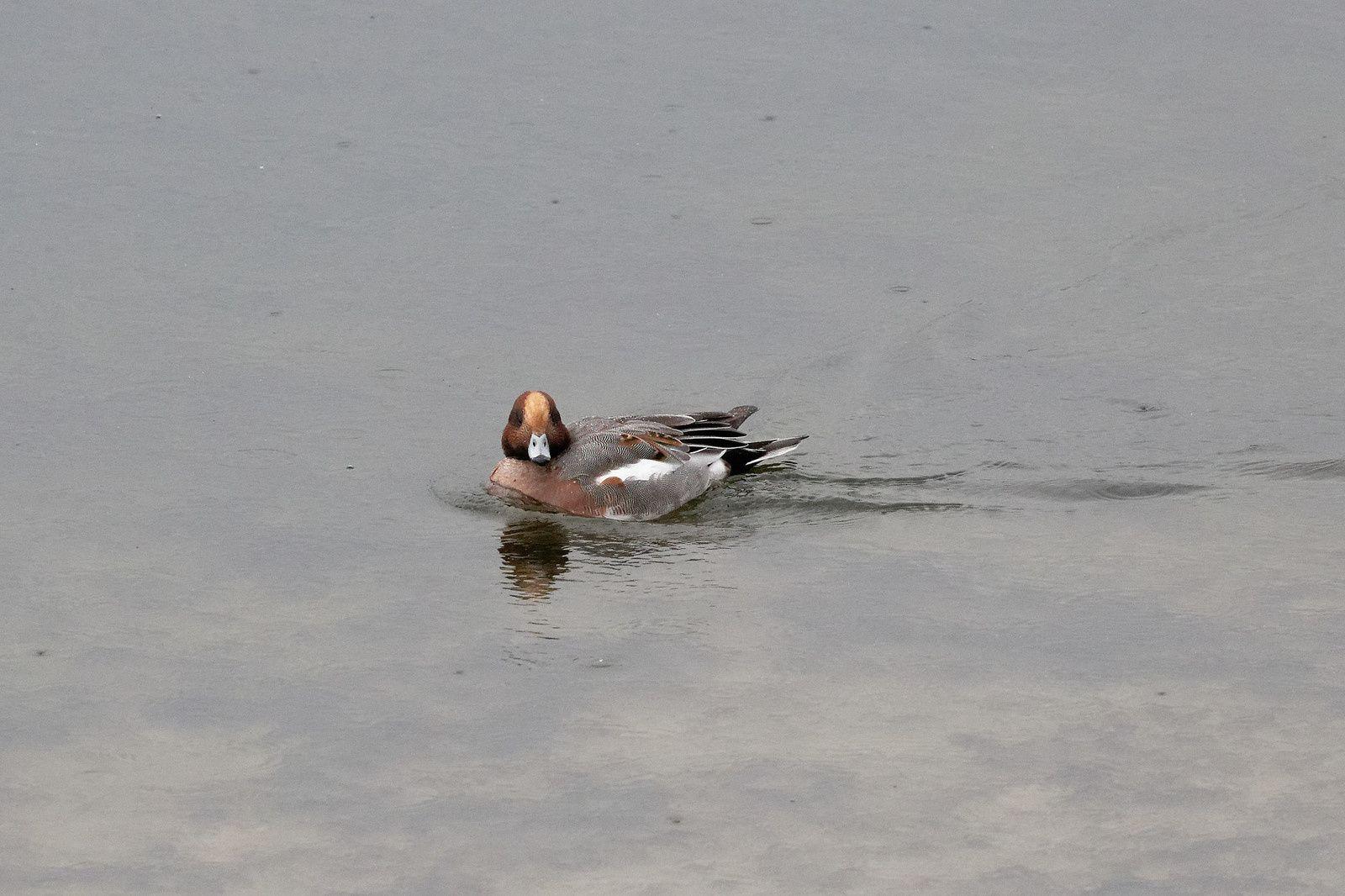 Canard siffleur, mâle