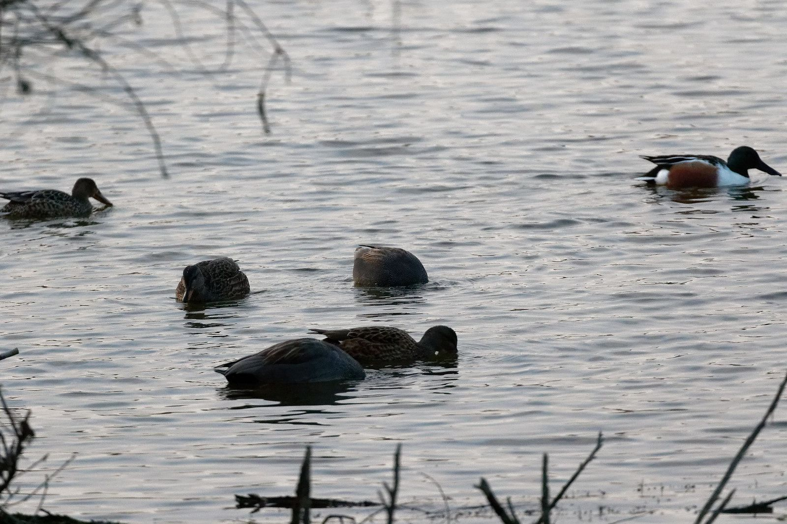Canards chipeaux