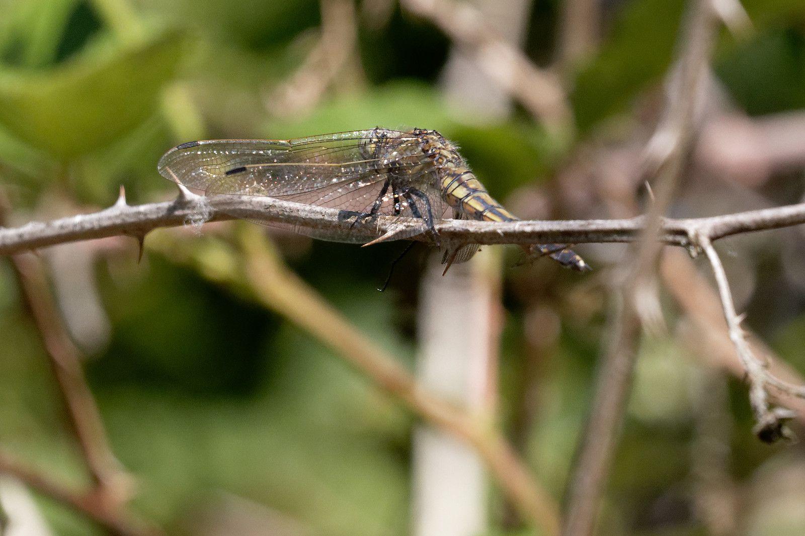 Orthétrum réticulé, femelle