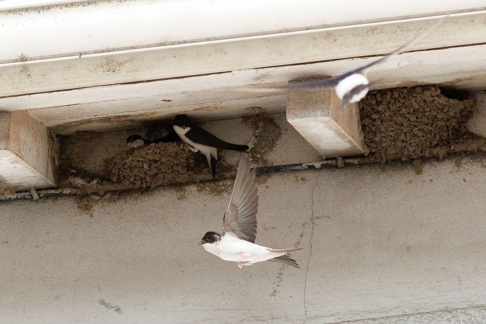 514 - Un toit pour les Hirondelles de fenêtre : 13/06/2020