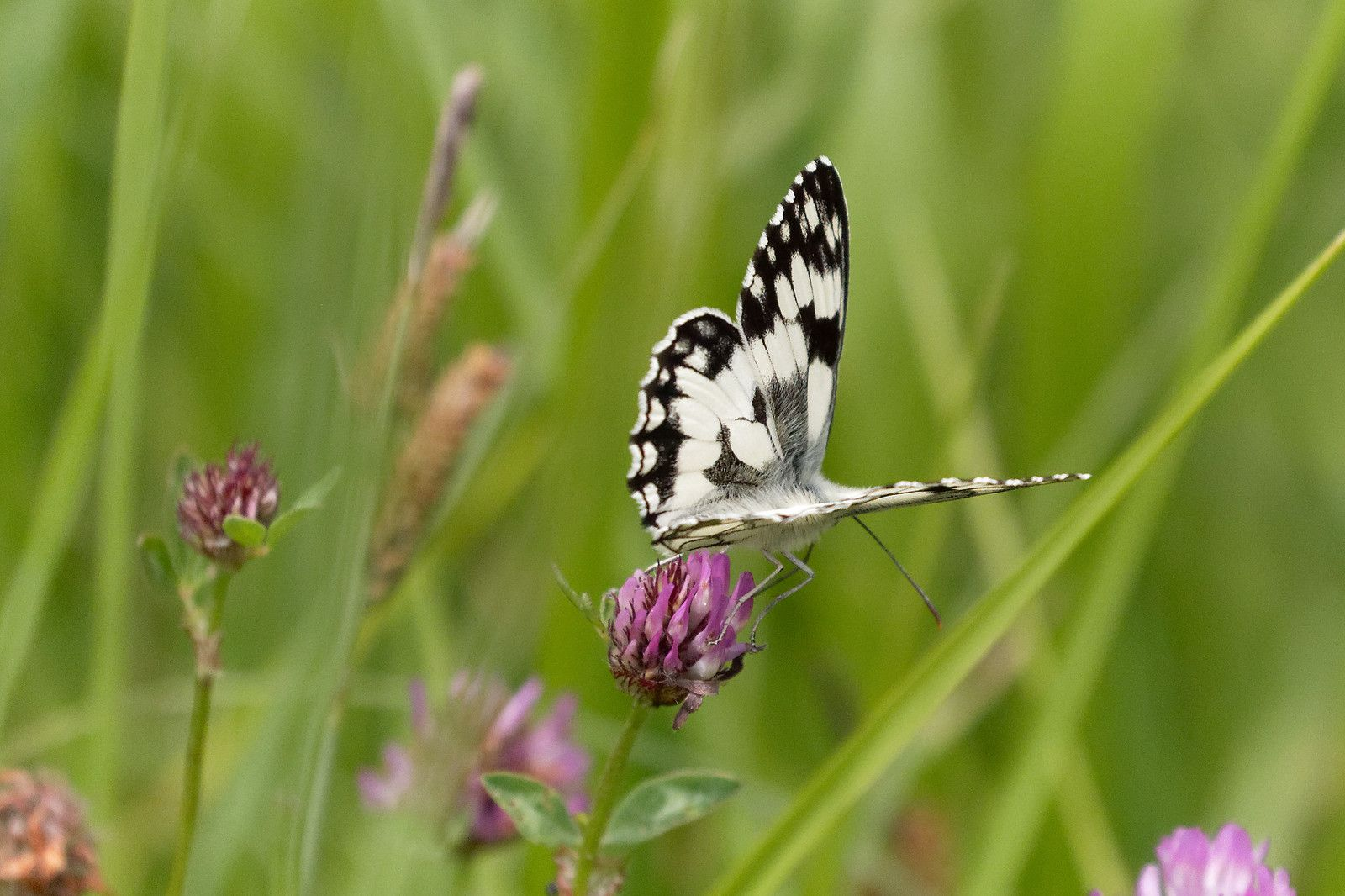 Demi-deuil est le plus fantastique des Papillons en noir et blanc. Je le vois bien ainsi.