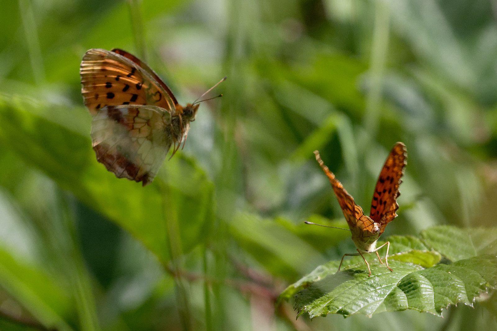 Des Nacrés de la ronce au comportement territorial. Ce n'est pas une danse. Le comportement des Papillons est fabuleux. Attention aux réglages de l'appareil.