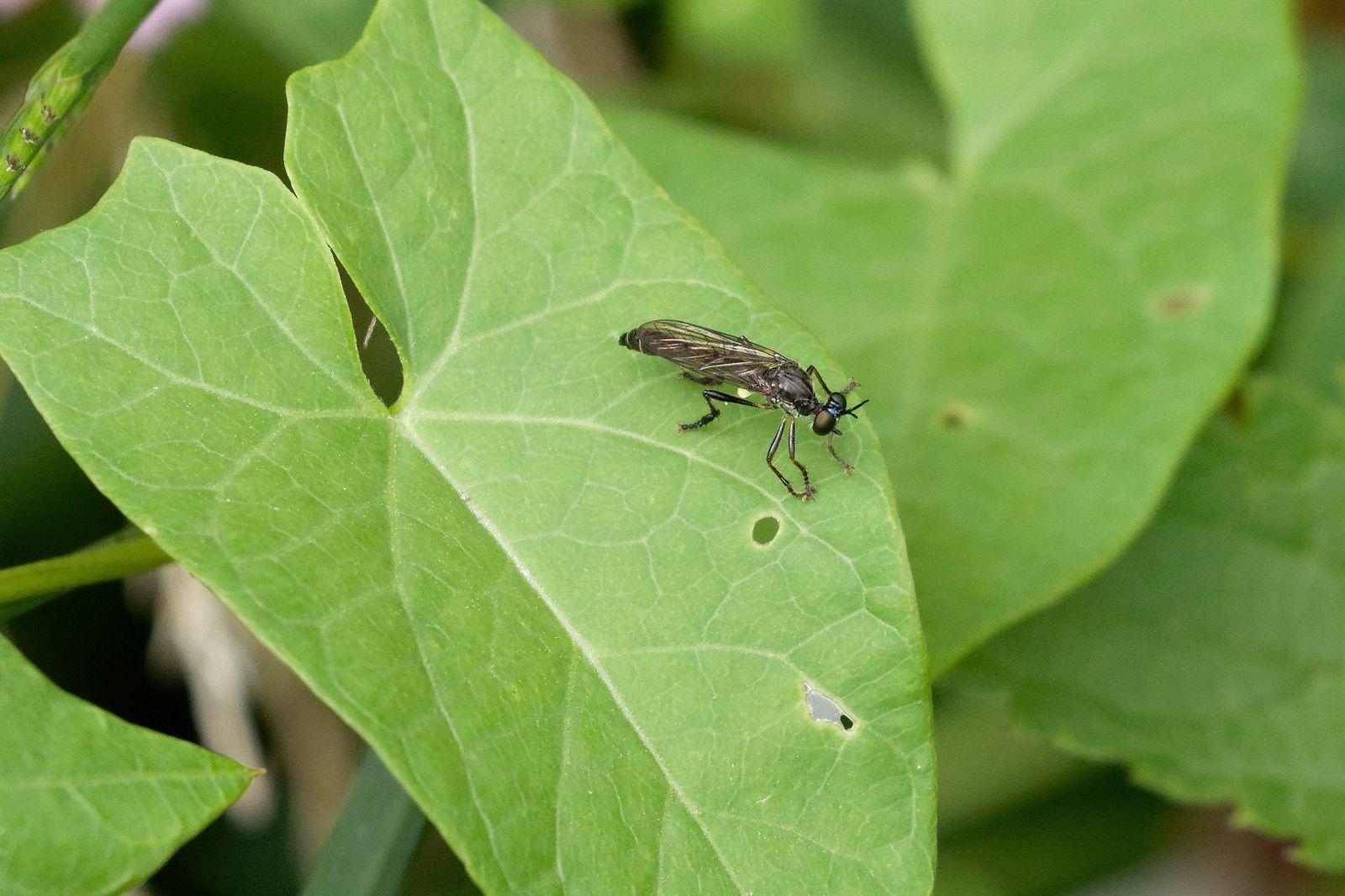 Un autre chasseur Diptera de profession.