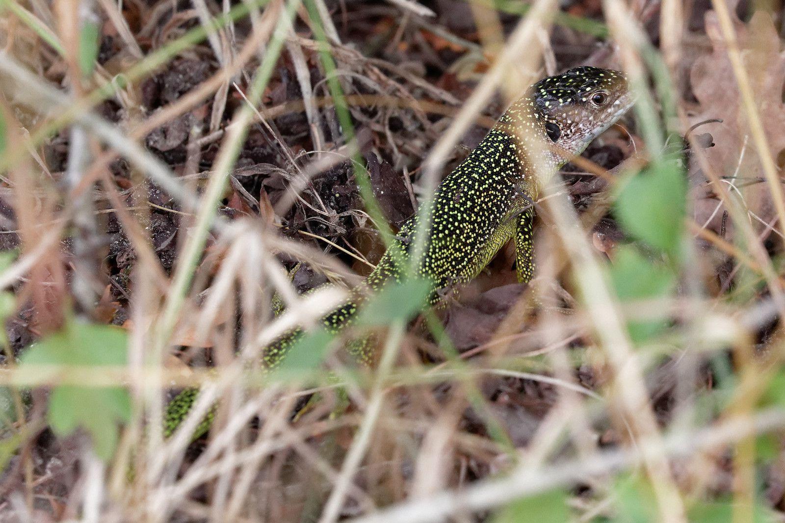 Lézard à deux raies (Lacerta bilineata)