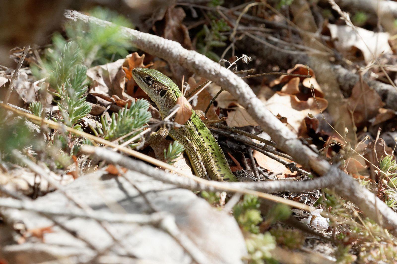 Lézard vert ou Lézard à deux raies tout simplement.