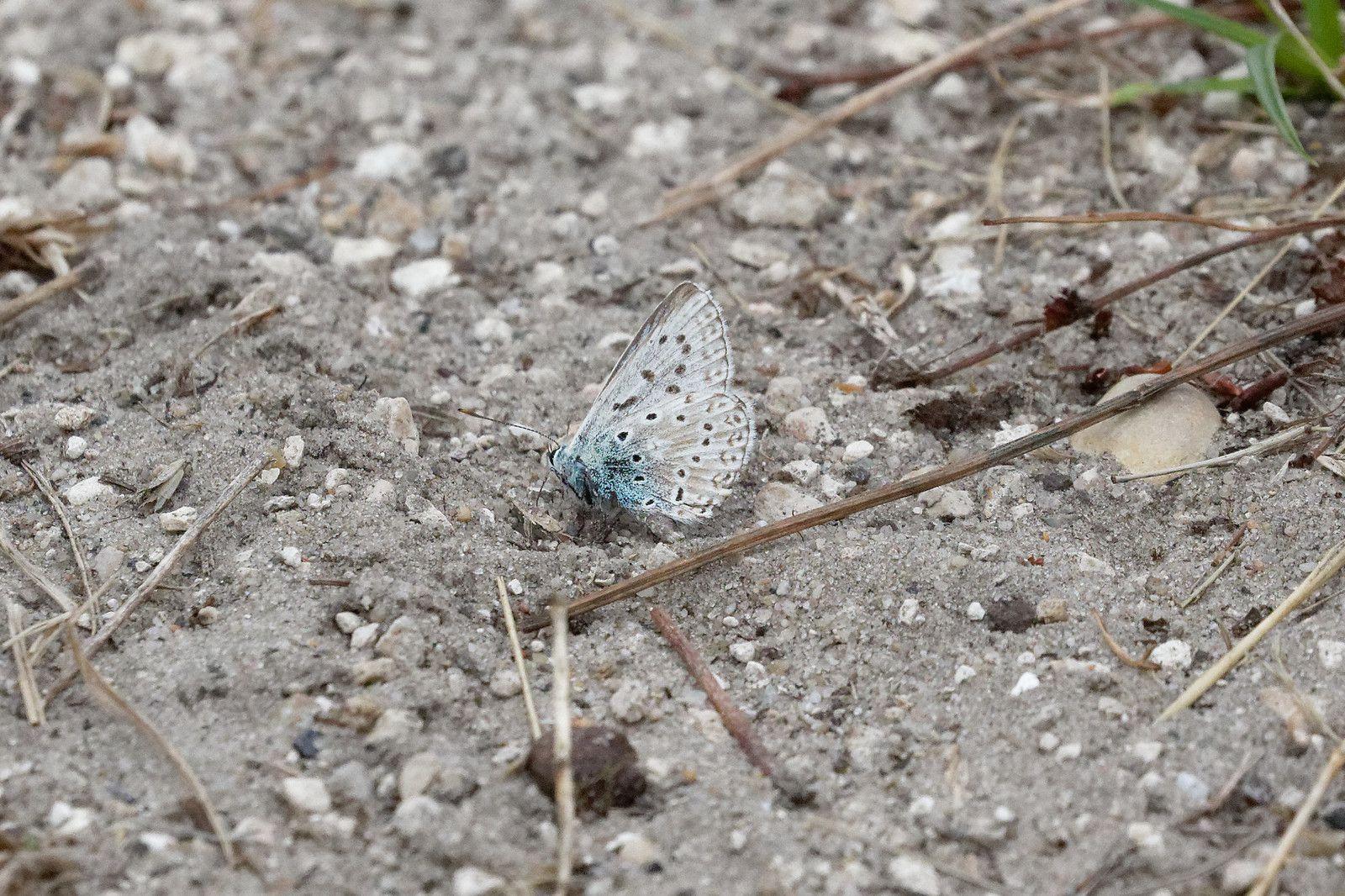 Bleu-nacré (Lysandra coridon)