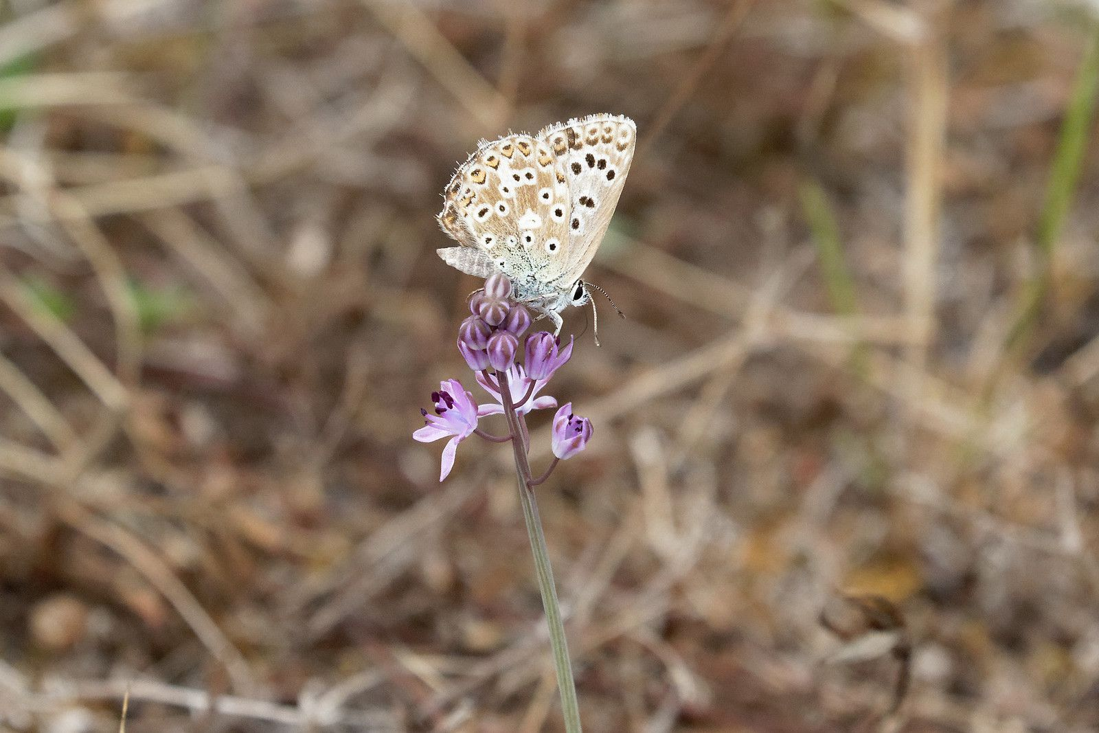 Argus bleu-céleste (Lysandra bellargus), possible