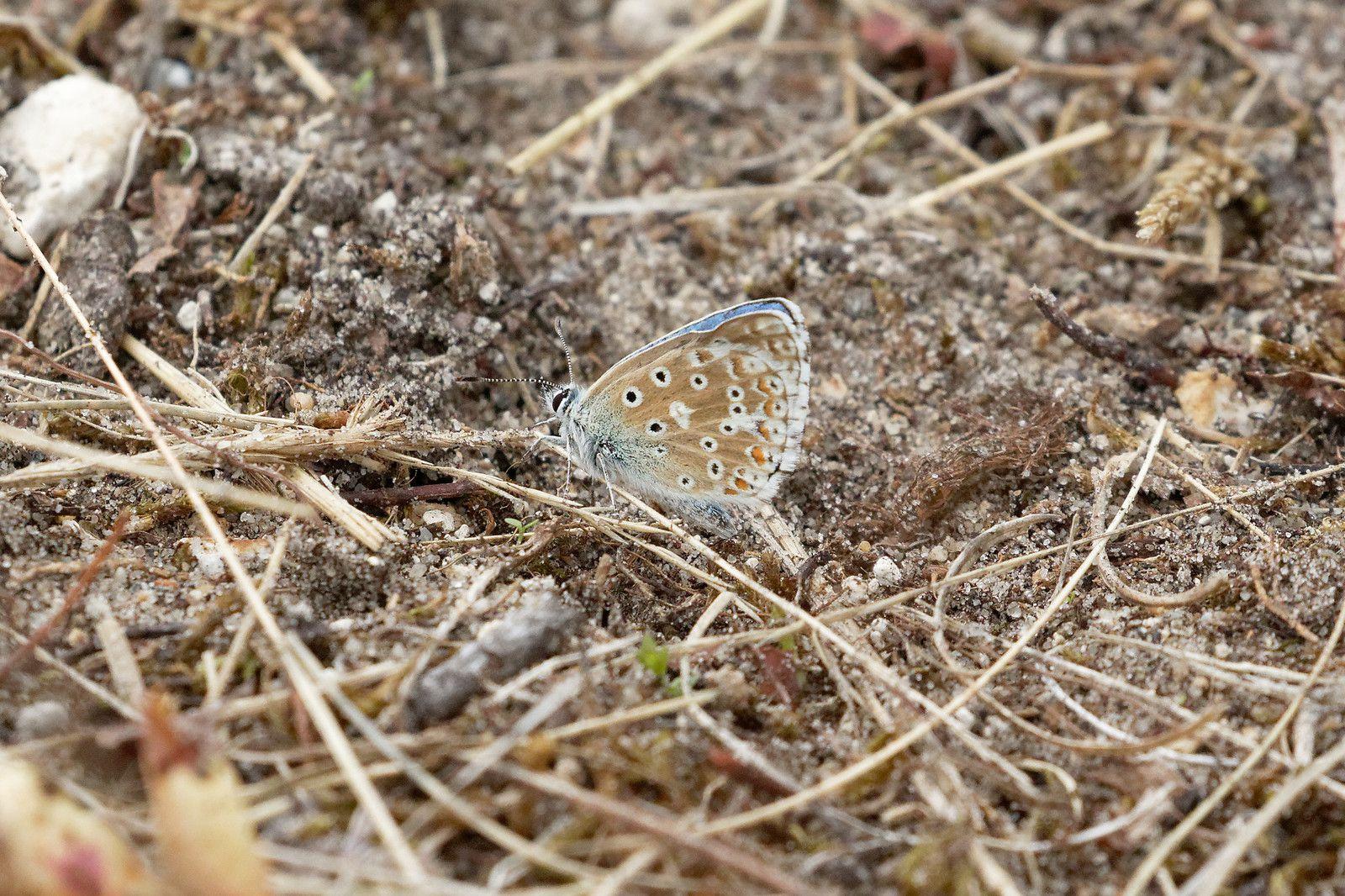 Argus bleu-céleste (Lysandra bellargus)