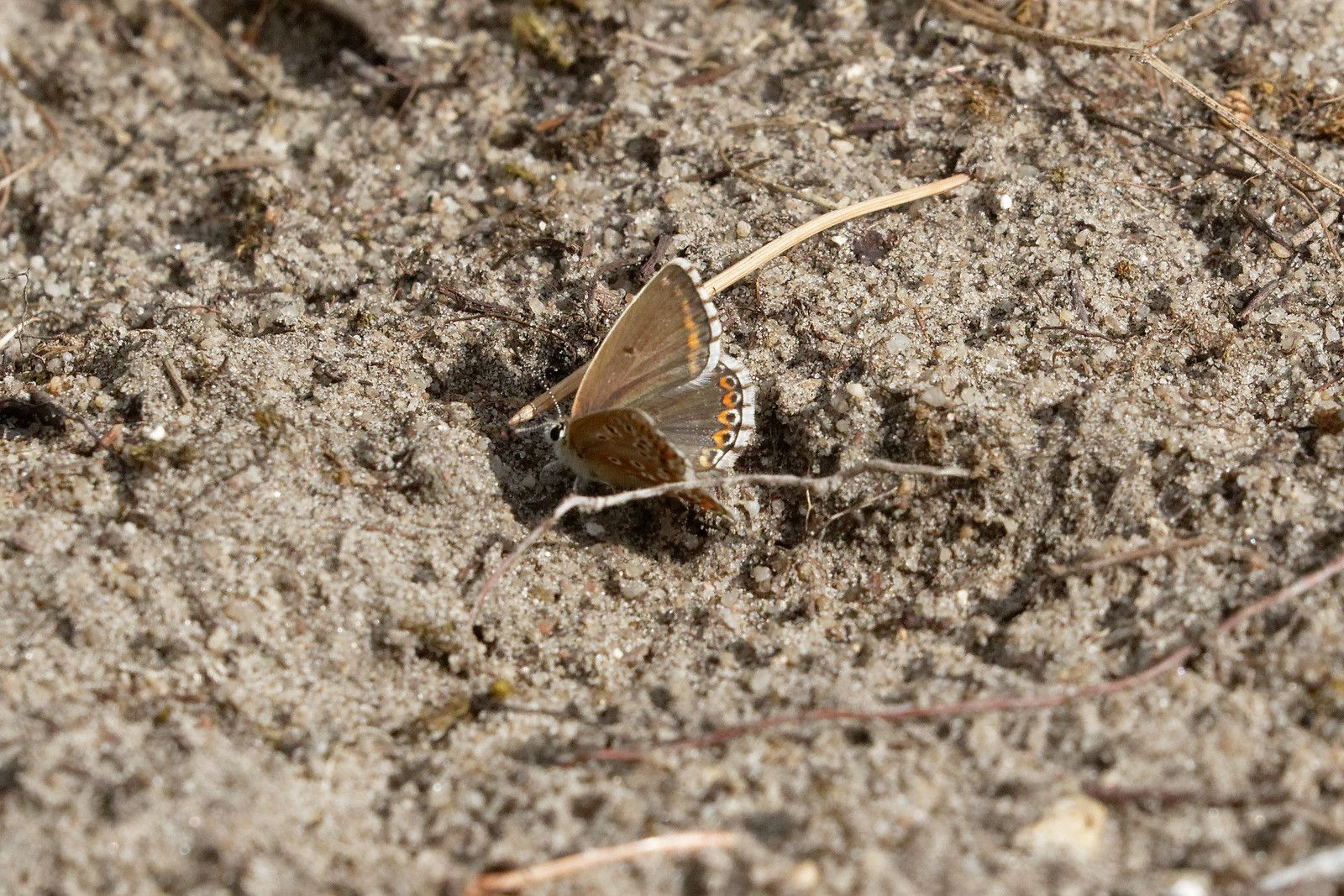 Argus bleu-céleste (Lysandra bellargus).