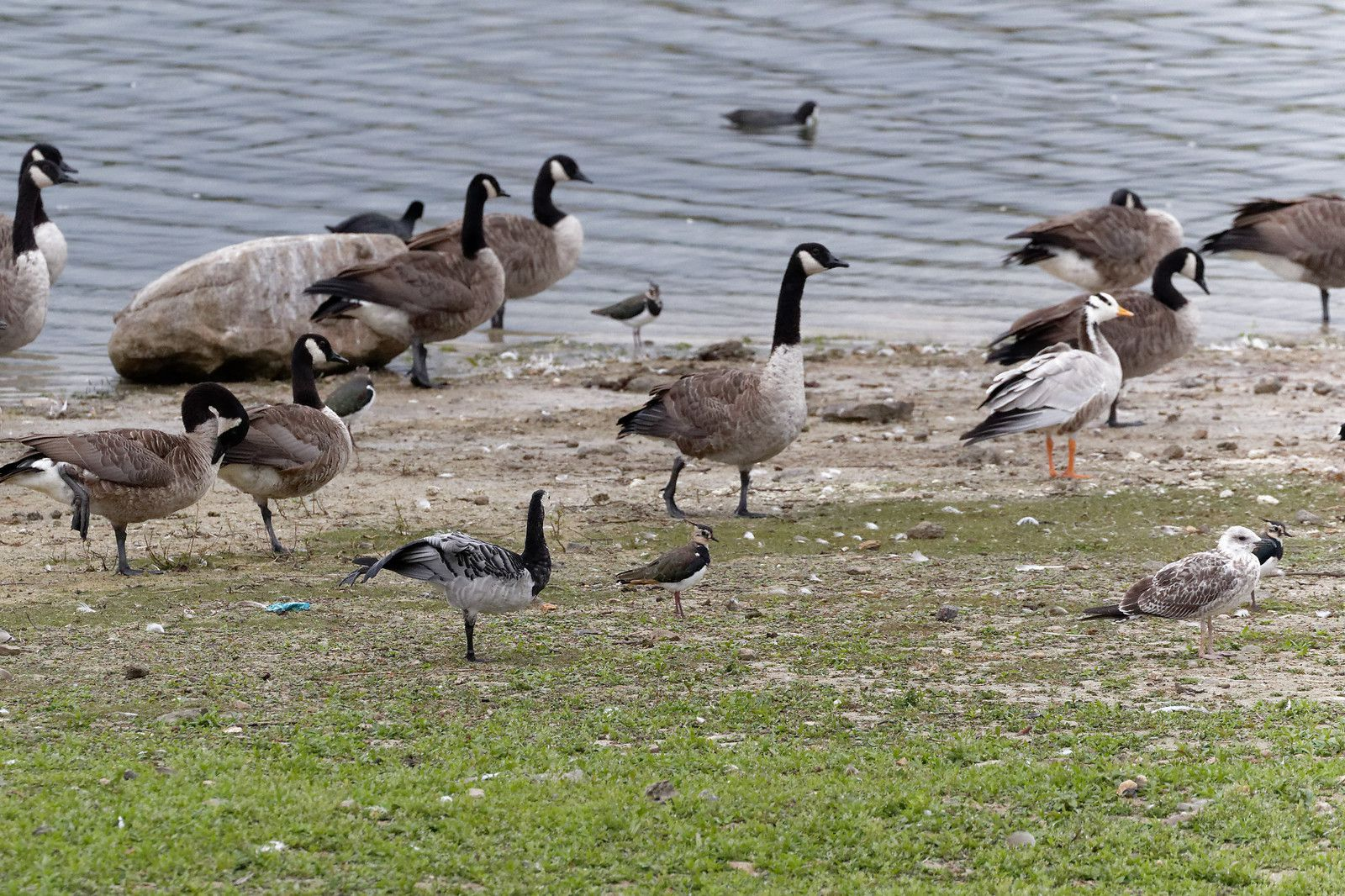 Bernarche nonnette à gauche au premier plan (les autres sont du Canada) et Oie à tête barrée à droite.