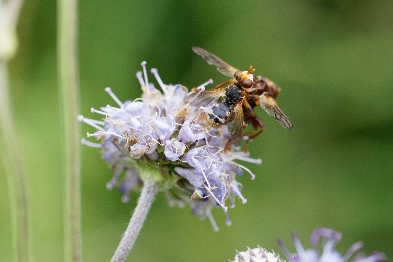 Tentative de copulation entre Diptera, Sicus sp.