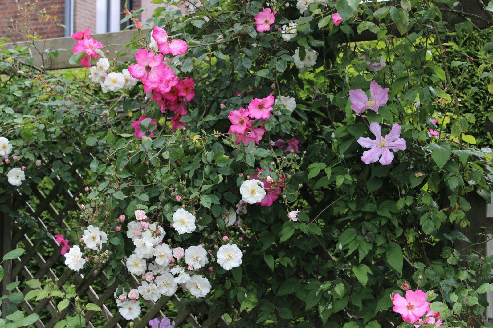 """Les rosiers lianes"""" Roville""""et Adelaide d'Orléans"""" sont ici accompagnés de la clématite """"Comtesse de Bouchaud"""""""