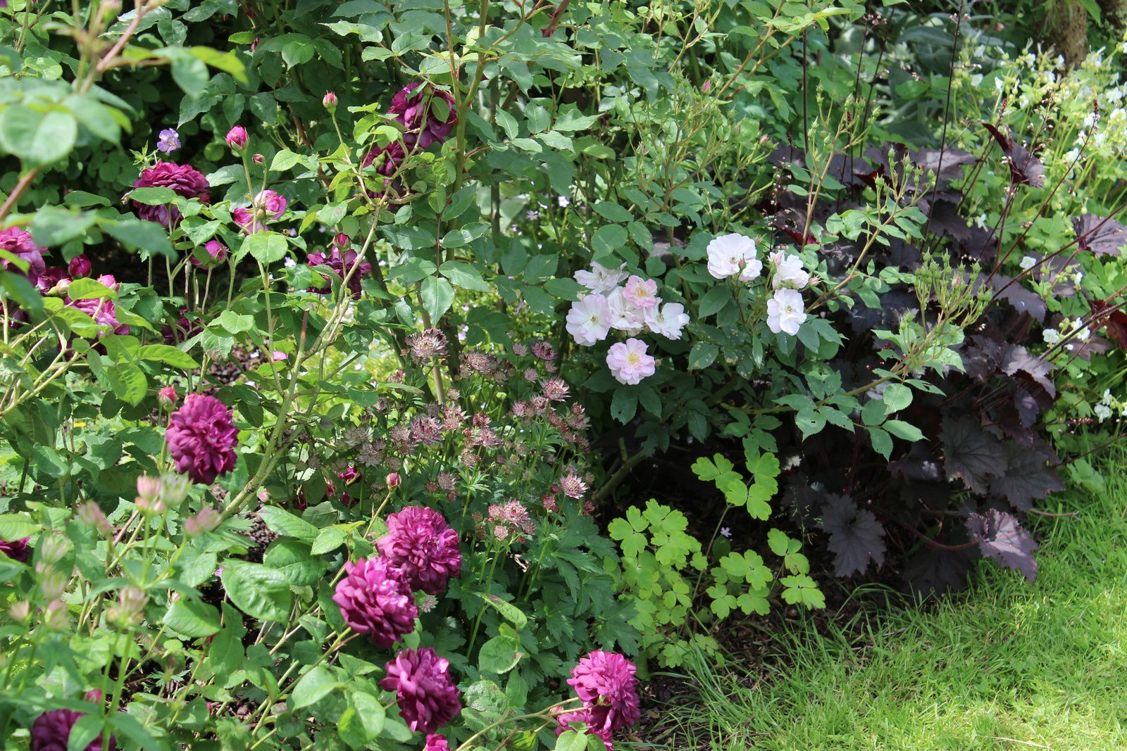 "Rosa gallique pourpre ""cardinal de Richelieu"", Rosa ""Narrow Water"", heuchère ""Binoche"", Astrance ""Moulin rouge"""