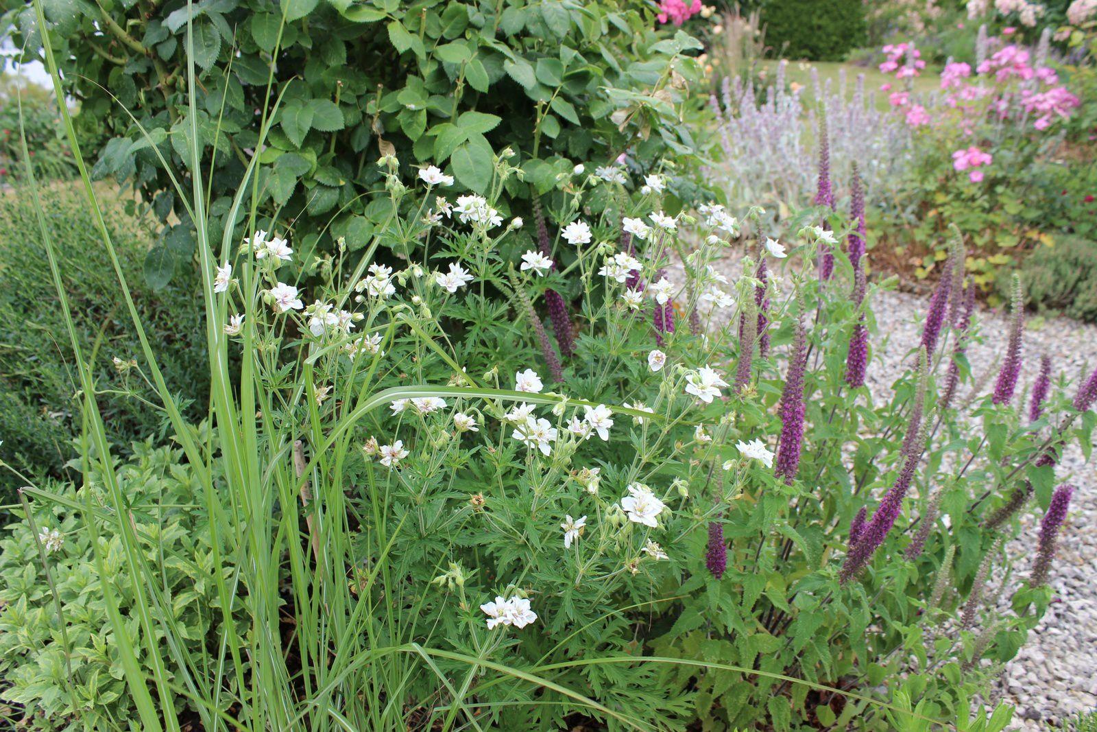 """Le géranium pratense """"Algrea double""""pour lequel j'ai un petit faible. Il accompagne les épis du teuchrium hircanum."""