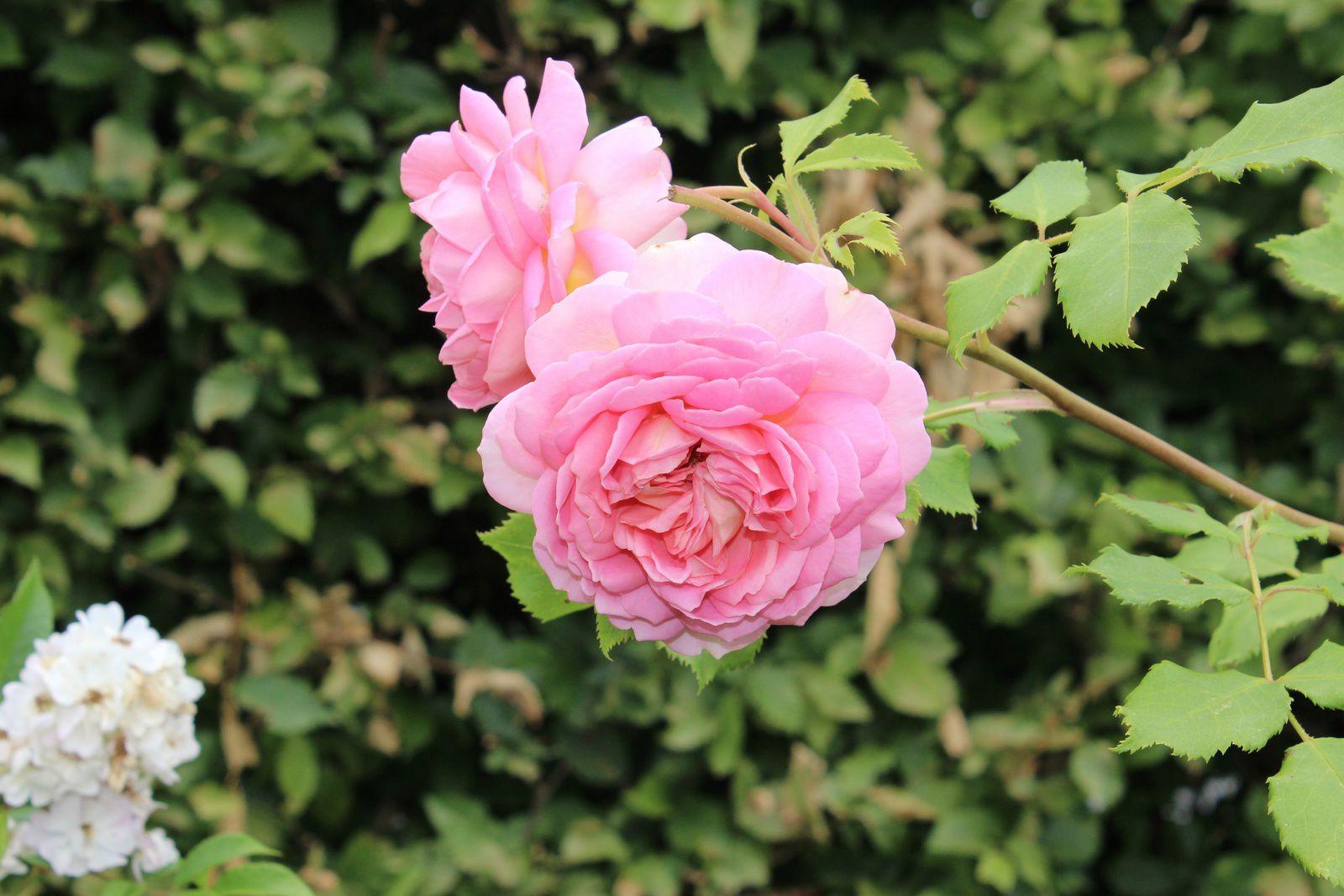 """Rosa """"Jubilee celebration"""""""