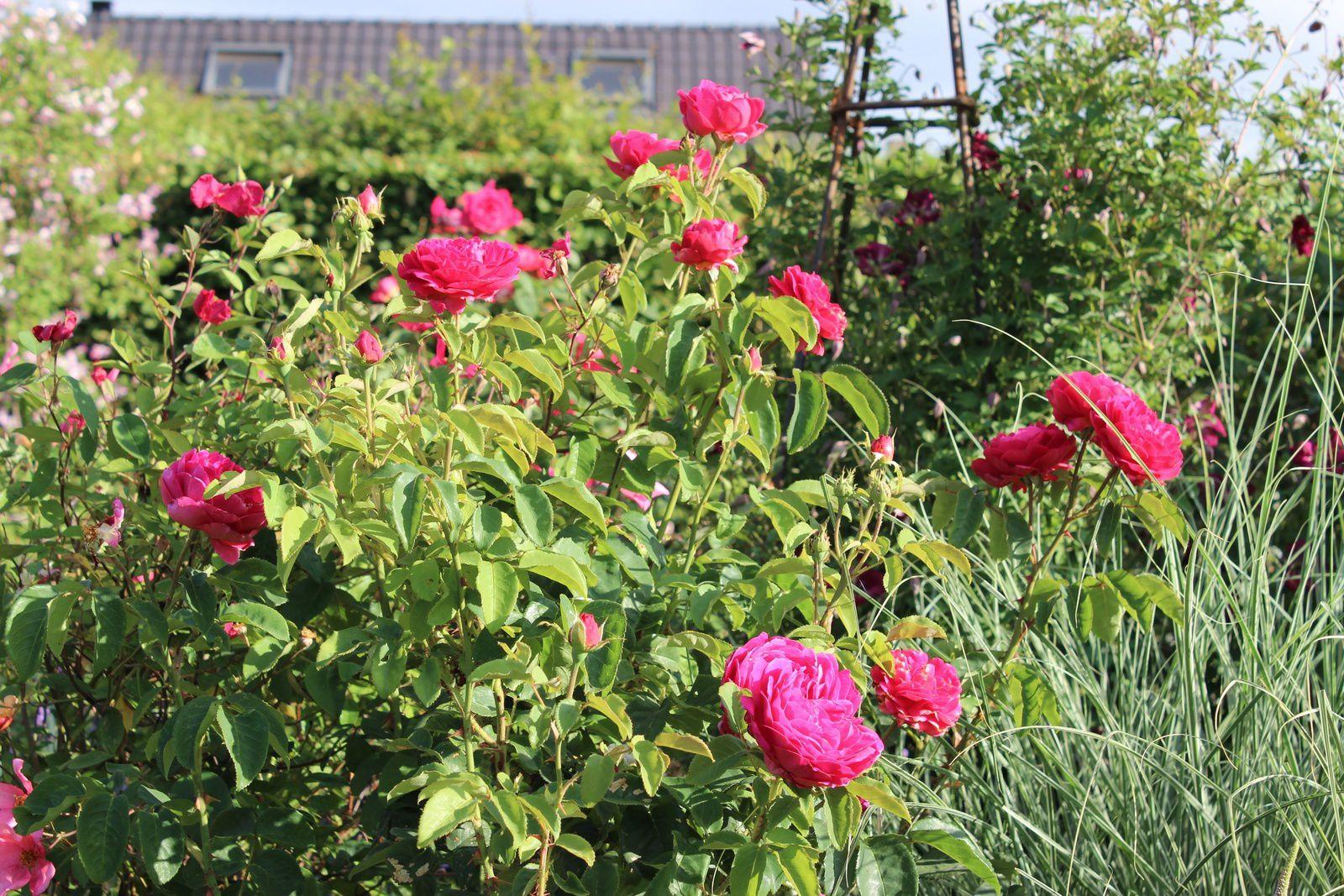 """Il y aussi """"Othelllo"""" de David Austin qui a vivoté pendant plusieurs années et qui a acquis une belle allure maintenant. Il a des  roses hyper parfumées (fruité)."""