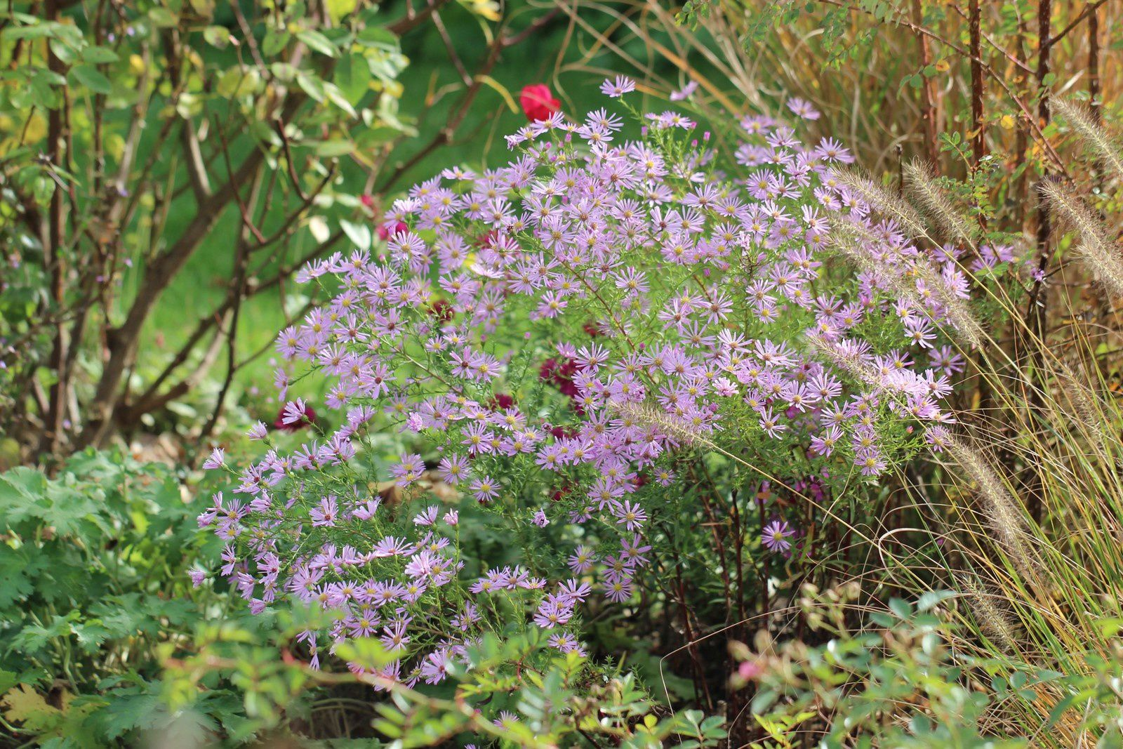 """Aster """"Pink Star"""""""