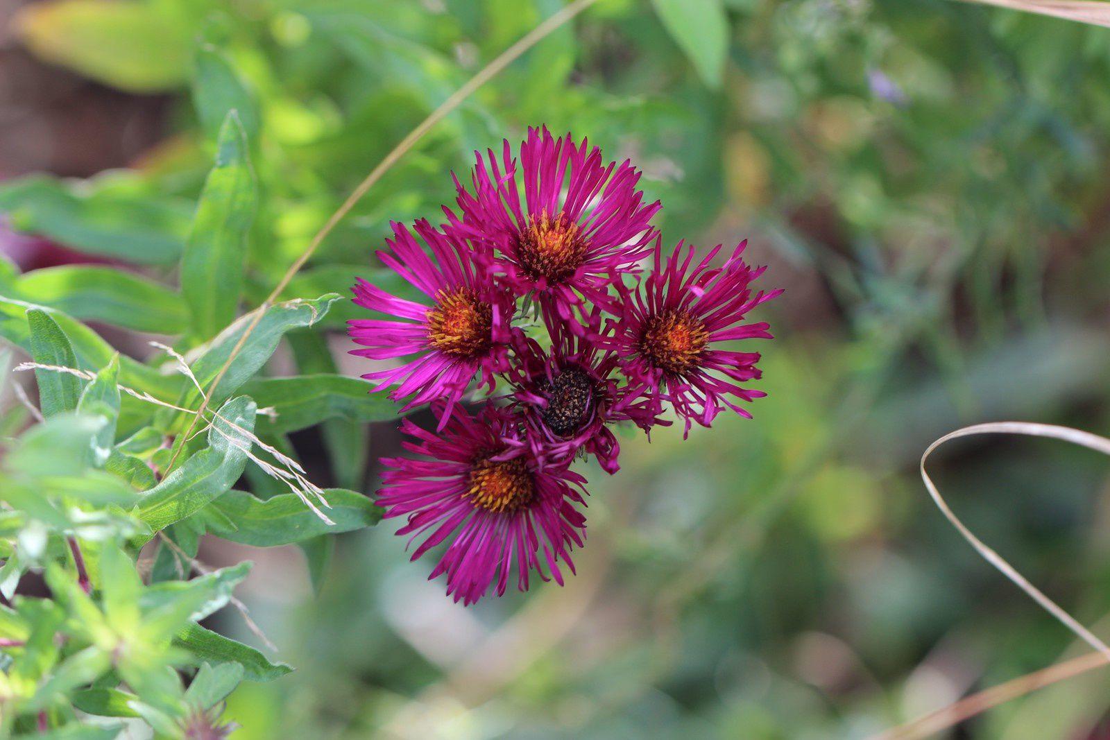 """Aster """"september ruby""""; une couleur magnifique..."""