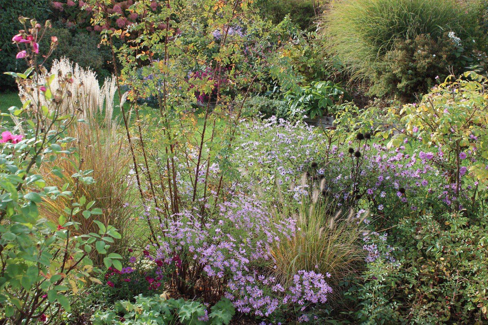 "Miscanthus ""Kleine Fontaine"", aster ""Pink Star"", le rosier pimpinellifolia ""Glory of Edzell"""