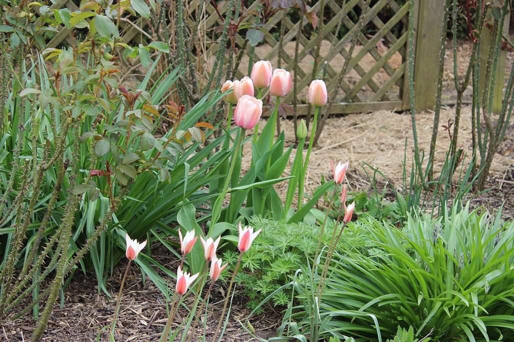 C'est le temps des tulipes...