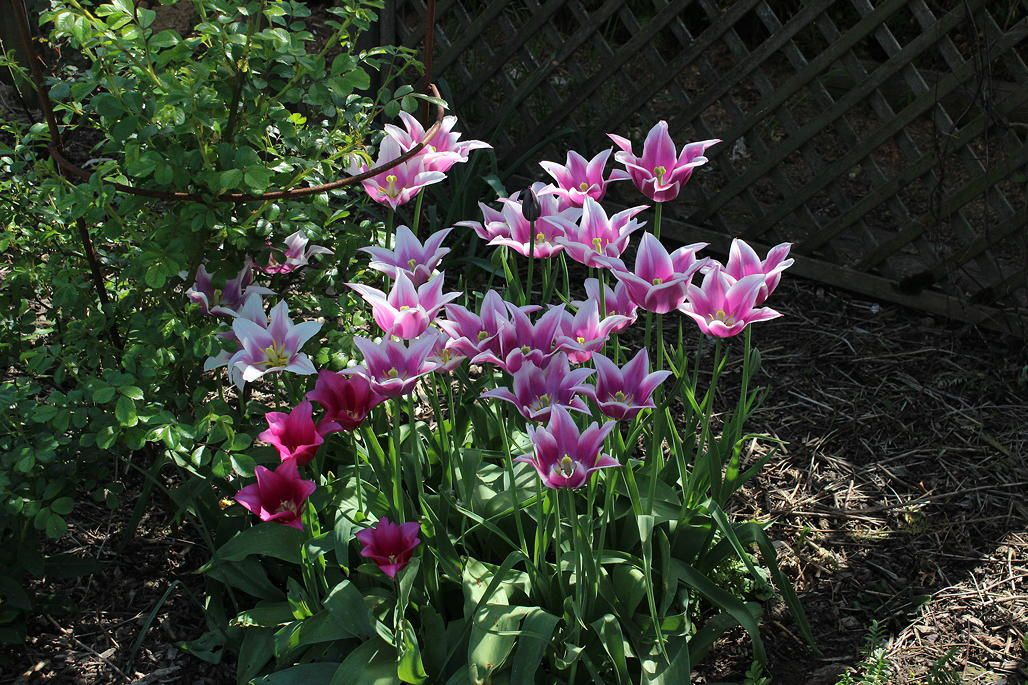 "tulipes ""ballade"" et ""china pink"""