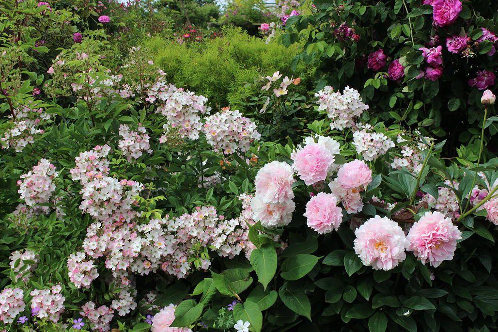 Les roses avant le coup de chaleur (1)