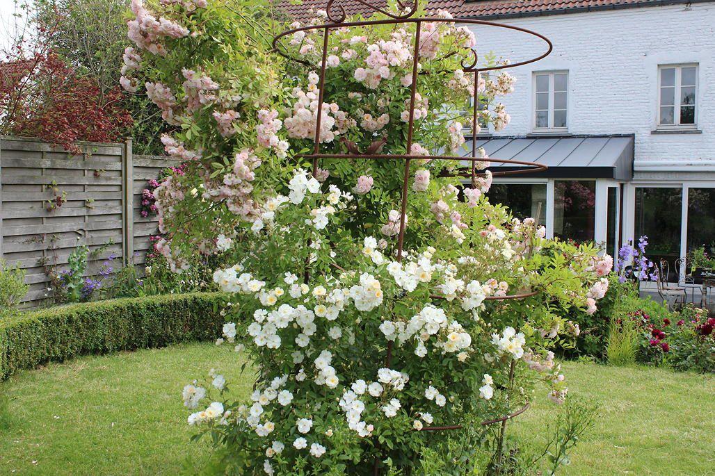 Les roses avant le coup de chaleur (2)
