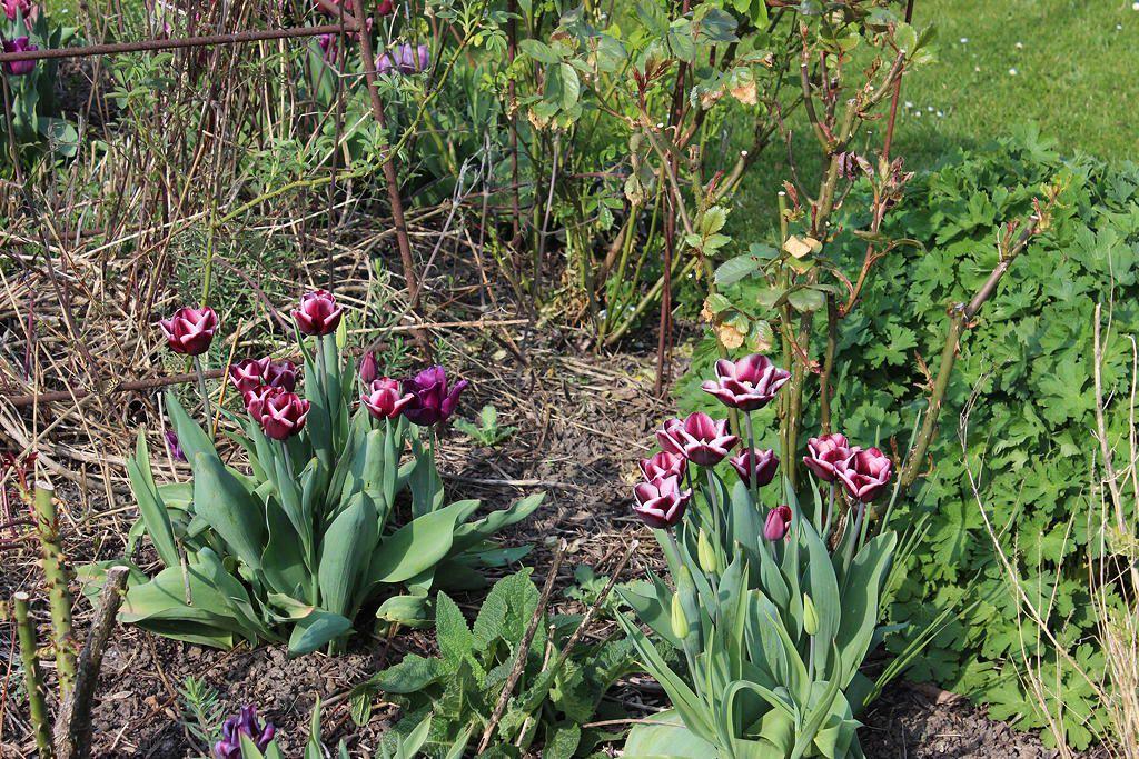 Tulipes Fontainebleau pérennes et élégantes à la fois....